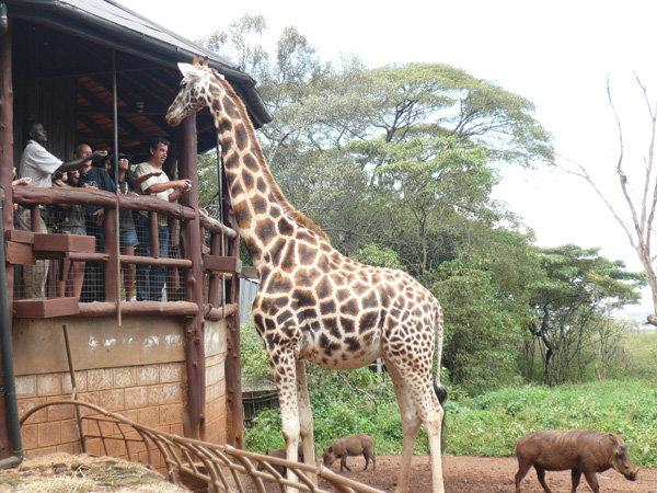 Giraffe Center kenia
