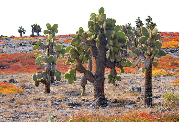 Galapagos vegetacion 1 - Galápagos, simplemente natural y espectácular