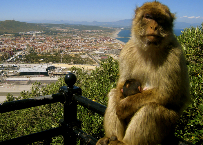 macacus sylvanus 1 - Gibraltar, la famosa Roca del Estrecho