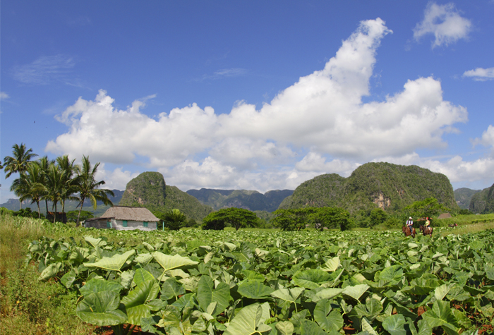 Valle de Vinales campos de tabaco 1 - Valle de Viñales: donde nace el tabaco