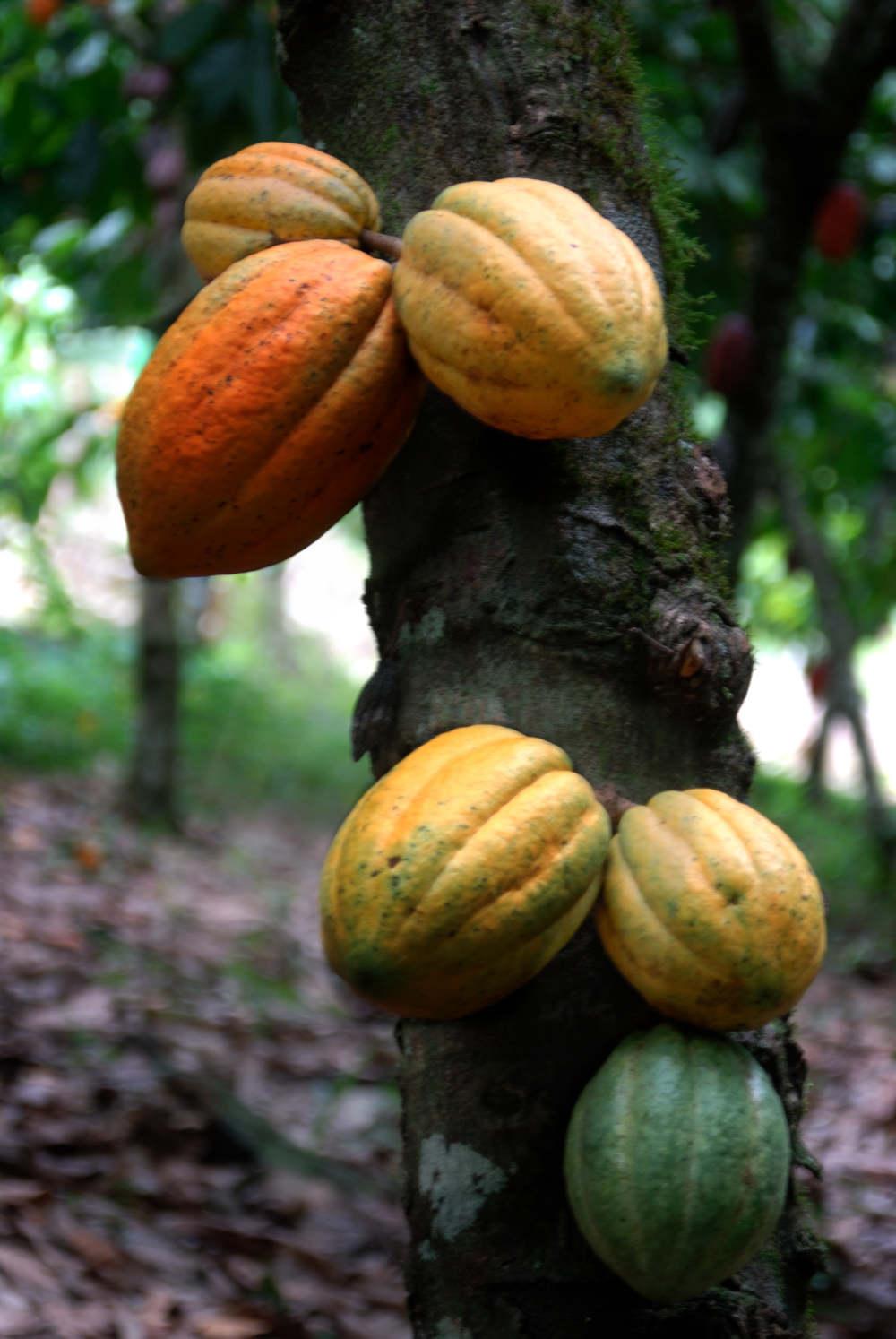 Cacao 001 - El cacao, un motor turístico, social y cultural en República Dominicana