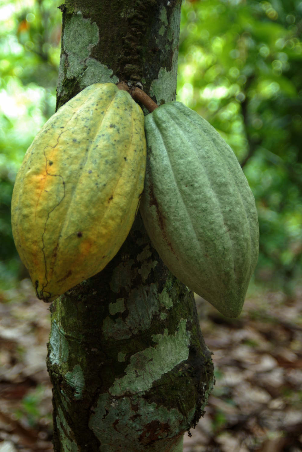 Cacao 002 1 - El cacao, un motor turístico, social y cultural en República Dominicana