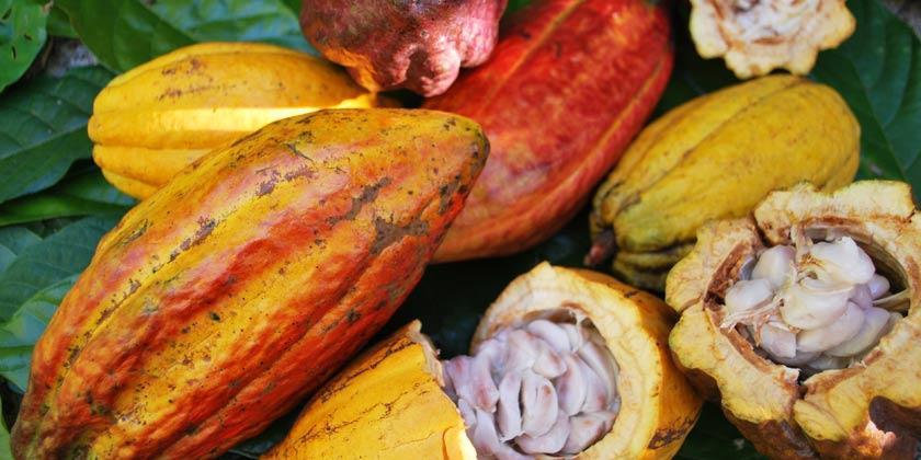 Cacao 1024x1024 - El cacao, un motor turístico, social y cultural en República Dominicana