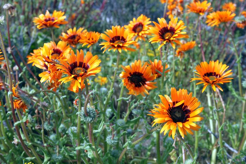 Namaqualand - La primavera inunda de flores Sudáfrica