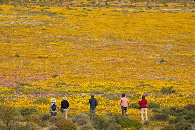 daisy namaqualand - La primavera inunda de flores Sudáfrica