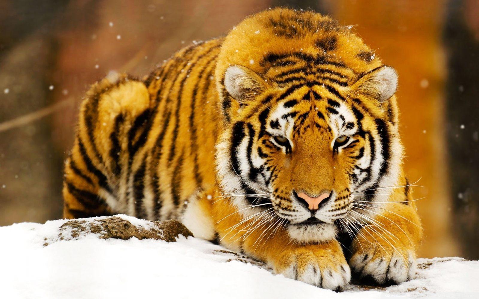 tigre de bengala - La región india de Madhya Pradesh elige a Interface Tourism Spain para su promoción turística en España