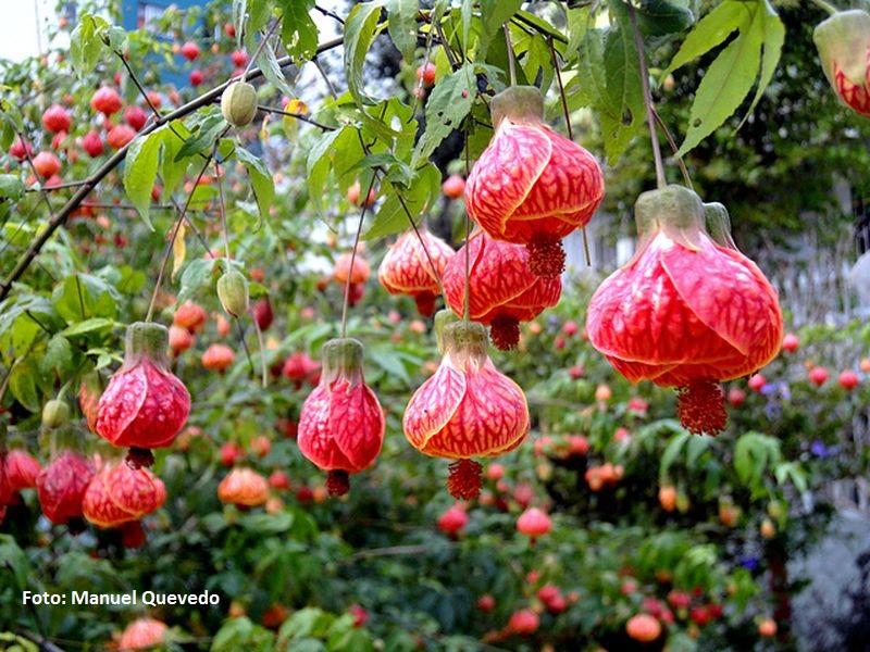 Abutilon striatum. Abutilón variegado Brasil - El mayor jardín botánico de España con especies únicas en el mundo está en Las Palmas de Gran Canaria