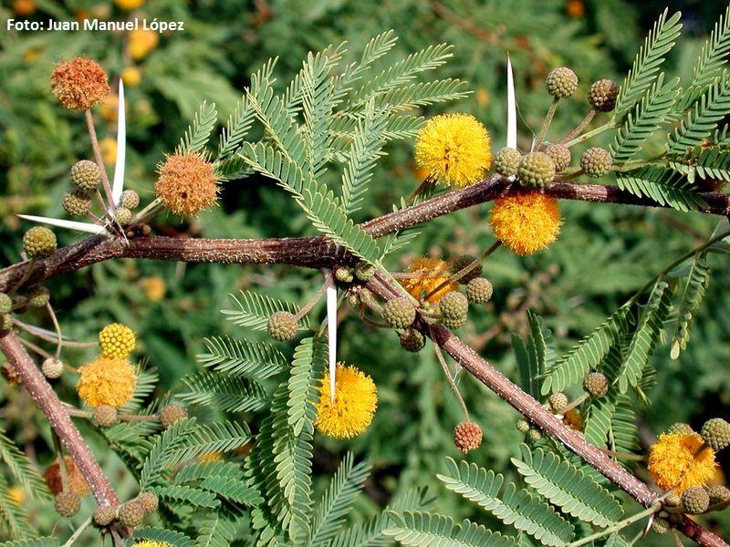 Acacia farnesiana. Mimosa América - El mayor jardín botánico de España con especies únicas en el mundo está en Las Palmas de Gran Canaria