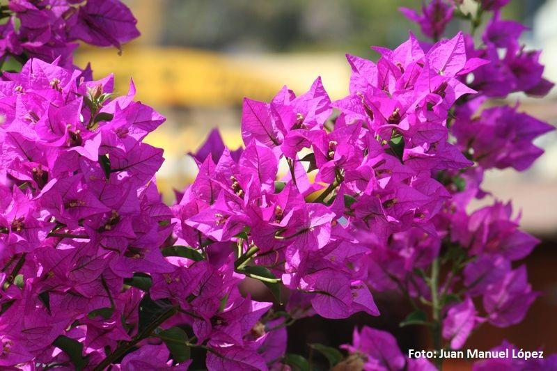 Bouganvilla glabra. Buganvilla Brasil - El mayor jardín botánico de España con especies únicas en el mundo está en Las Palmas de Gran Canaria