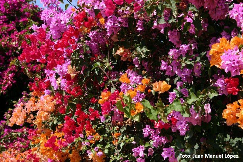 Bouganvilla sp - El mayor jardín botánico de España con especies únicas en el mundo está en Las Palmas de Gran Canaria