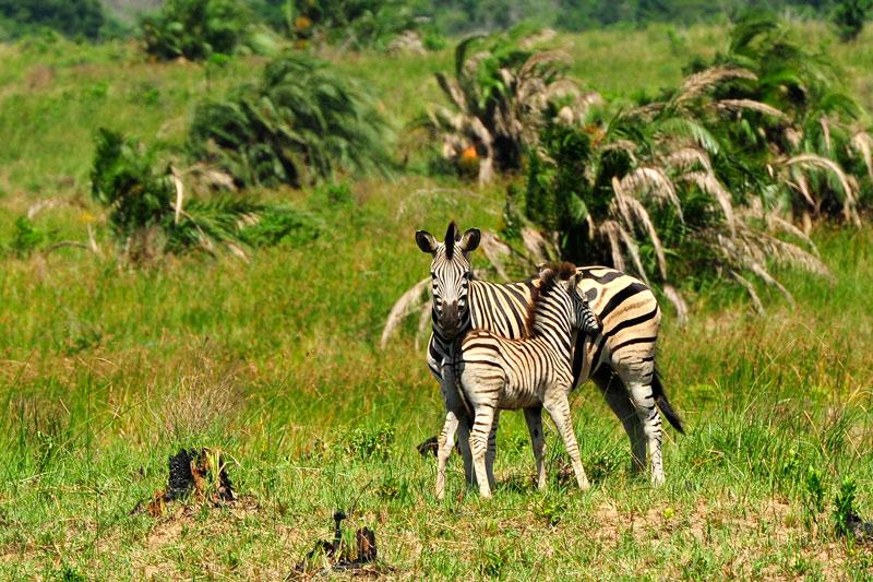 Cebras Parque de Humedales de iSimangaliso Turismo de Sudáfrica - Cuando la tierra se encuentra con el mar: Humedal de iSimangaliso, Sudáfrica