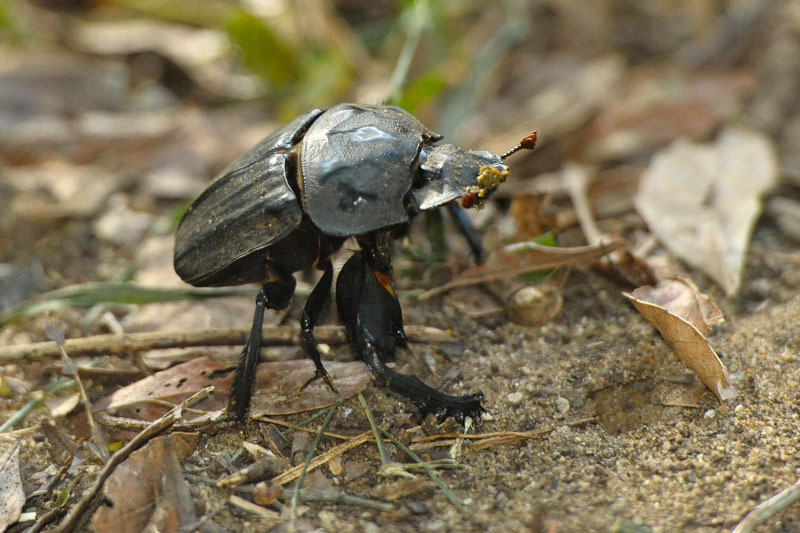 Escarabajo pelotero Parque de Humedales de iSimangaliso Turismo de Sudáfrica - Cuando la tierra se encuentra con el mar: Humedal de iSimangaliso, Sudáfrica