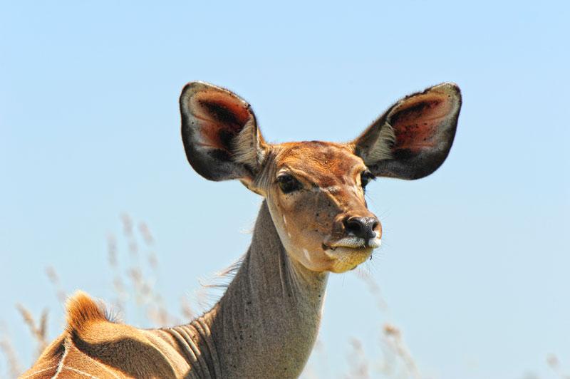 Kudu Parque de Humedales de iSimangaliso Turismo de Sudáfrica - Cuando la tierra se encuentra con el mar: Humedal de iSimangaliso, Sudáfrica
