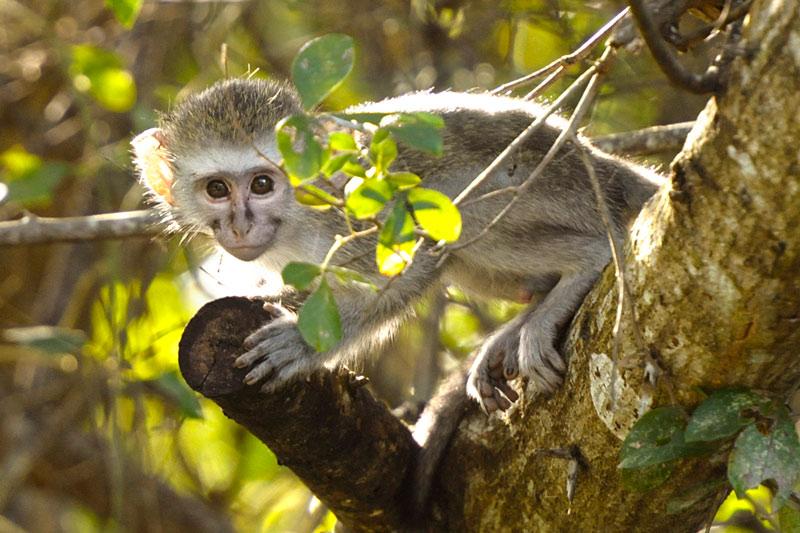 Mono Vervet Parque de Humedales de iSimangaliso Turismo de Sudáfrica - Cuando la tierra se encuentra con el mar: Humedal de iSimangaliso, Sudáfrica