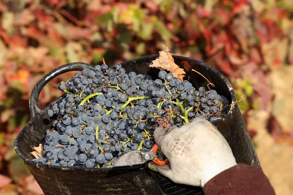 Vendimia gf046283 Gastromedia - La vendimia en Rioja Alavesa, un espectáculo para los sentidos