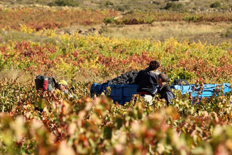 Vendimia gf046285 Gastromedia - La vendimia en Rioja Alavesa, un espectáculo para los sentidos