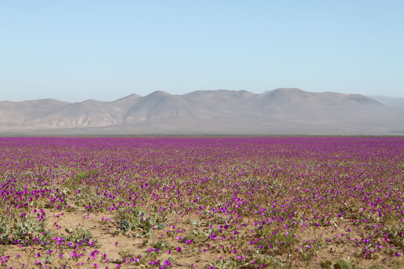 Desiesto de Atacama. Cortersía Chile Travel. Montaña flores - ¿Te gusta ir de camping? Cinco lugares donde descubrir los paisajes secretos de Chile