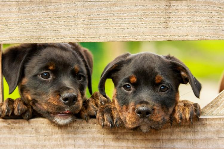 FormatFactoryPerro Rottweiler - Los españoles prefieren los perros a los niños