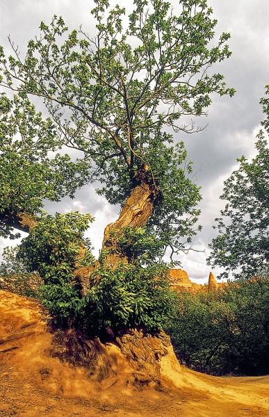 Mina de Oro de las Medulas arbol - La senda del Oro