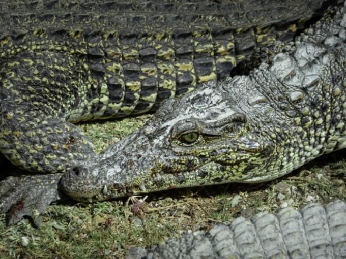 Roberto F. Campos Cocodrilo - Ciénaga de Zapata, Cuba pura biodiversidad en el Caribe insular