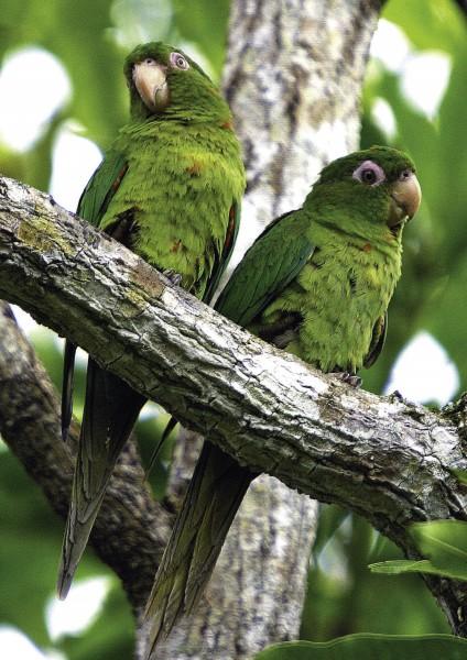 cotorras cateyes cienaga de zapata - Ciénaga de Zapata, Cuba pura biodiversidad en el Caribe insular