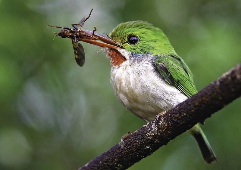 cuban todyI ave pajarito cienaga de zapata - Ciénaga de Zapata, Cuba pura biodiversidad en el Caribe insular