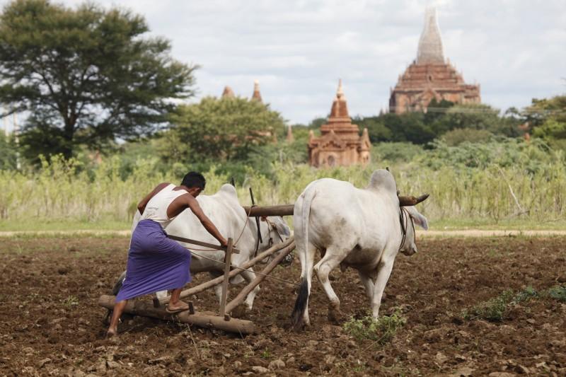 myanmar bueyes campo labranza - Myanmar; el tesoro étnico