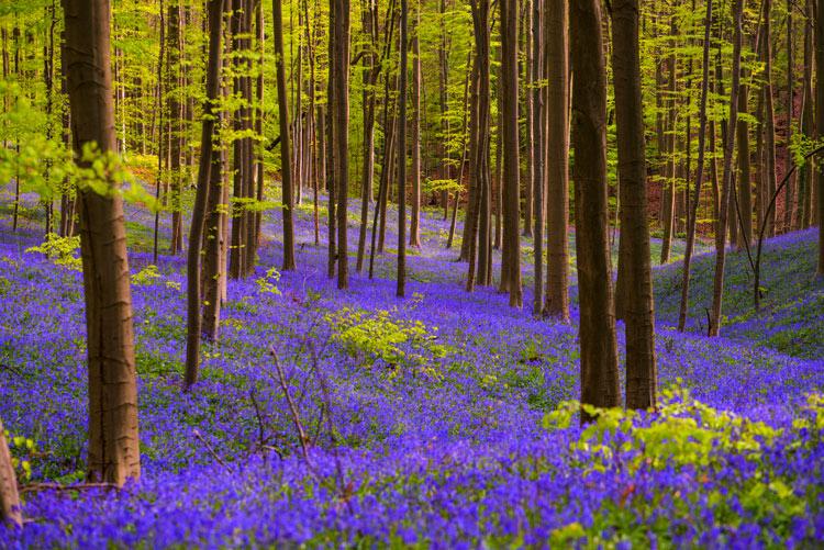 Hallerbos 1 Belgica Bosque de campanillas azules - Unas vacaciones medio pagadas por los destinos, un nuevo plan turístico