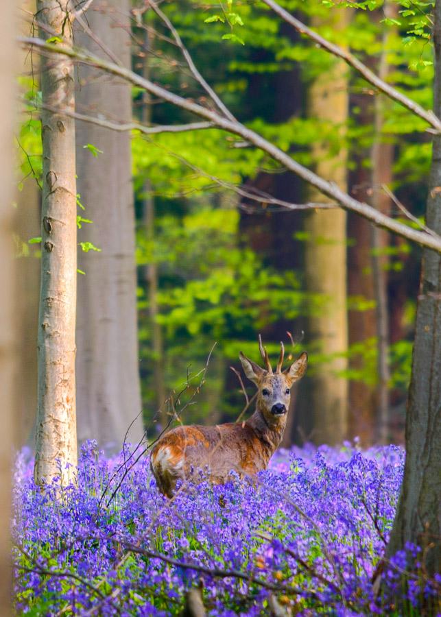 """Hallerbos 2 Belgica Bosque de campanillas azules - Fotos de: """"Hallerbos y 'el bosque de campanillas azules'"""""""