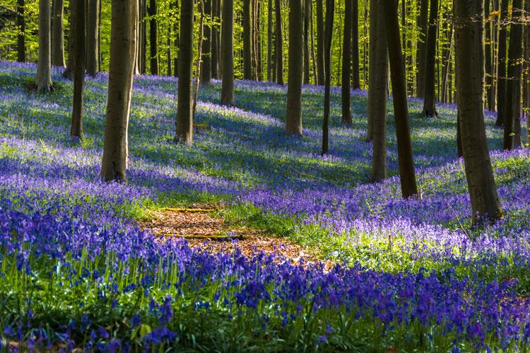 """Hallerbos 3 Belgica Bosque de campanillas azules - Fotos de: """"Hallerbos y 'el bosque de campanillas azules'"""""""