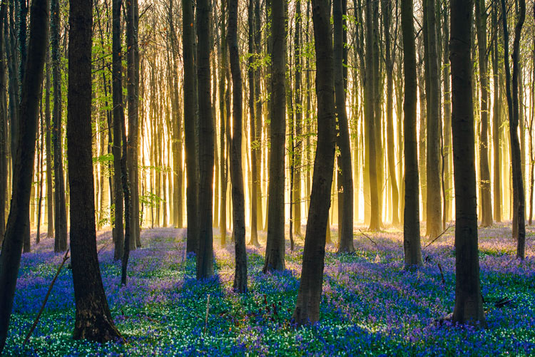 """Hallerbos 4 Belgica Bosque de campanillas azules - Fotos de: """"Hallerbos y 'el bosque de campanillas azules'"""""""