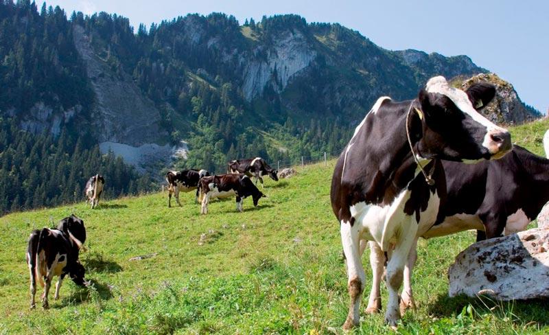 Vacas suizas montaña prado - Unas vacaciones medio pagadas por los destinos, un nuevo plan turístico