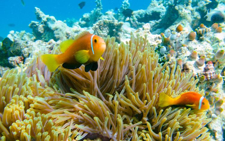 anémona pez payaso Maldivas - Islas Maldivas, un merecido paraíso tras el infierno de la pandemia