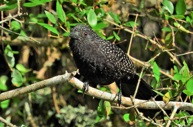 Batara Pintado Uruguay pájaro © Tinambu - El ecoturismo, un reclamo esencial de Uruguay