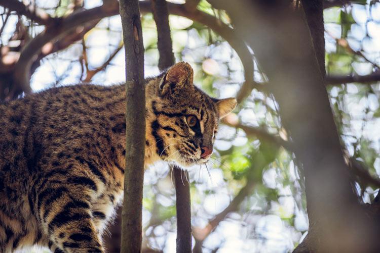 Gato de bosque © Amba Impuslo Creativo - El ecoturismo, un reclamo esencial de Uruguay