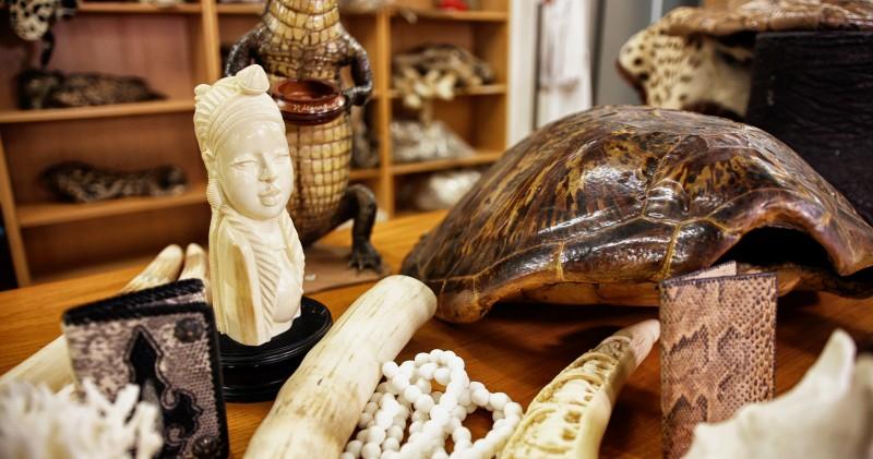 Tortugas marfil pieles Espécimen decomisado Almacén de decomisos Autoridad Administrativa CITES España © Imagina Producciones WWF - Las 10 reglas del turismo responsable. #STOPtraficoespecies.