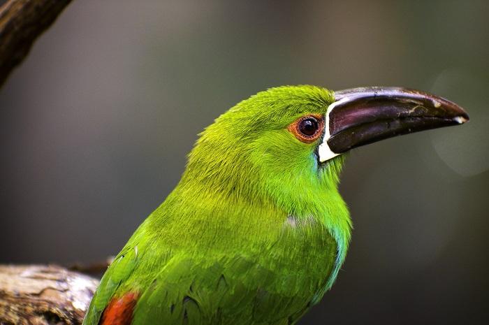 Tucanete Culirrojo © Desmorider copia - Aves en Colombia, un récord por las nubes